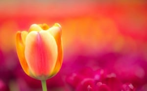 flower tulip pink orange free wp
